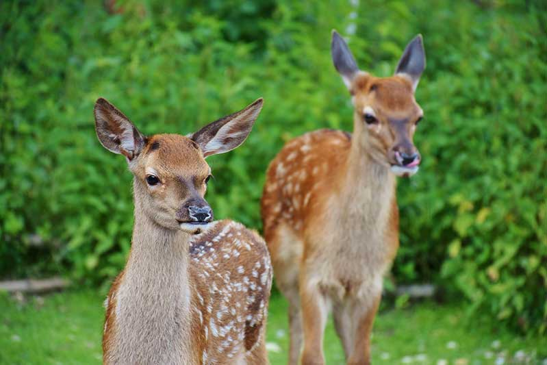 Keep Deer From Pets