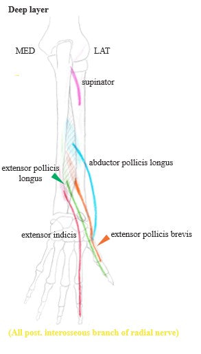 Muscles of the Forearm Part VIII
