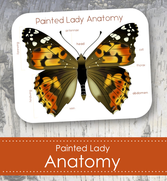 Painted Lady Butterfly Anatomy
