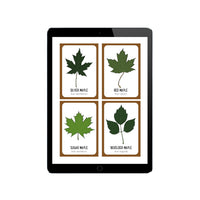 Maple Identification Cards