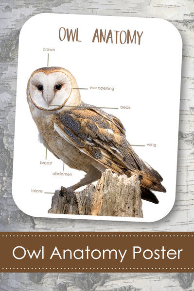 Owl Anatomy Poster