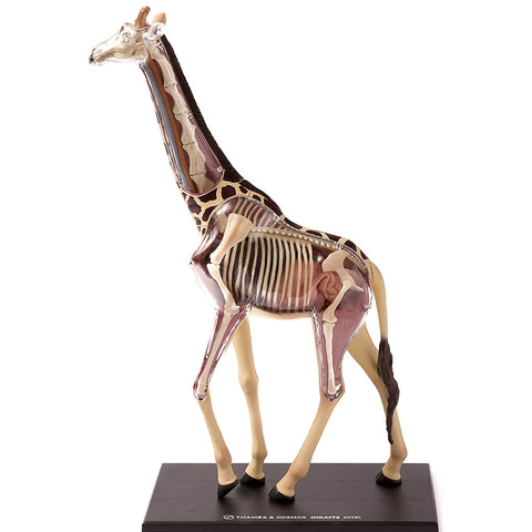 Giraffe Anatomy - 3D Anatomical Model | Happy Piranha