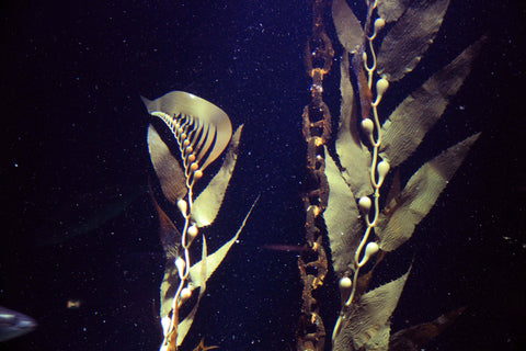Pangea America synthetic giant sea kelp in an aquarium in Denmark