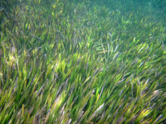 live turtlegrass forest in the ocean, grass blade tips as far as the eye can see