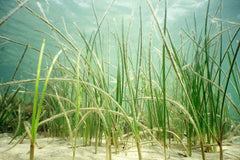 Live shoal grass on a sandbed in the ocean