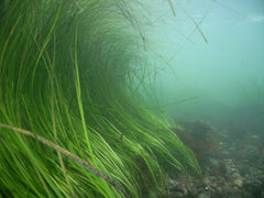 Live eelgrass curling in the oceans current