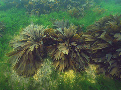 Live colony of toothed wrack living among other species of algae on the seafloor