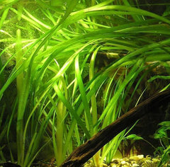 Closeup of live Vallisneria gigantea in an exhibit