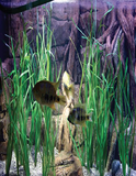 Pangea America synthetic Vallisneria natans in an aquarium with south american cichilids