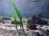 Pangea America offers phyllospadix scouleri, or surfgrass for your aquatic exhibits