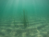 Pangea America eelgrass in the ocean