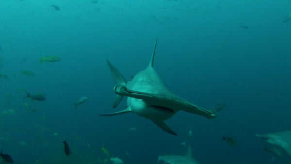 Sharks at Cocos Island