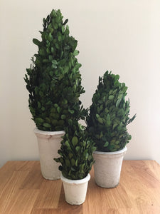 Preserved Boxwood Cones