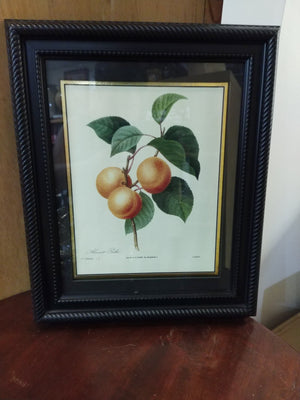 Framed Print by P.J. Redoute published in 1827 Apricot Peche