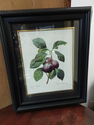 Framed Print by P.J. Redoute published in 1827 Prune Royale