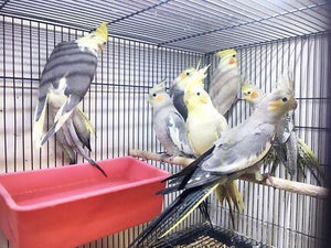 Cockatiels for sale | Birds and Parrots Store