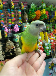 Senegal Parrots for Sale