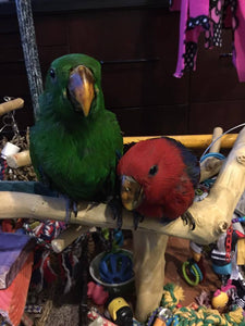 Eclectus for sale