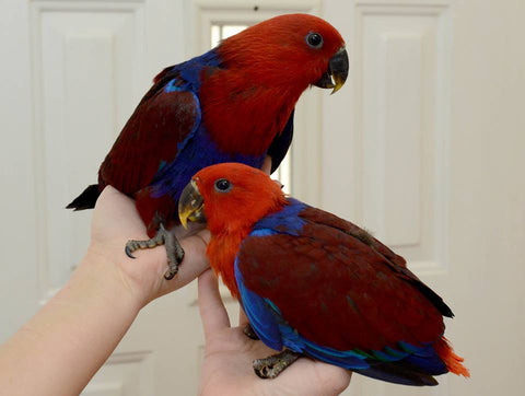 Eclectus for sale | Birds and Parrots Store