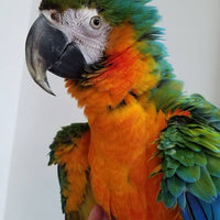Catalina Macaw For sale - Macaws and Parrots For sale