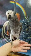 Timneh African Grey Parrots for Sale - Macaws and Parrots For sale
