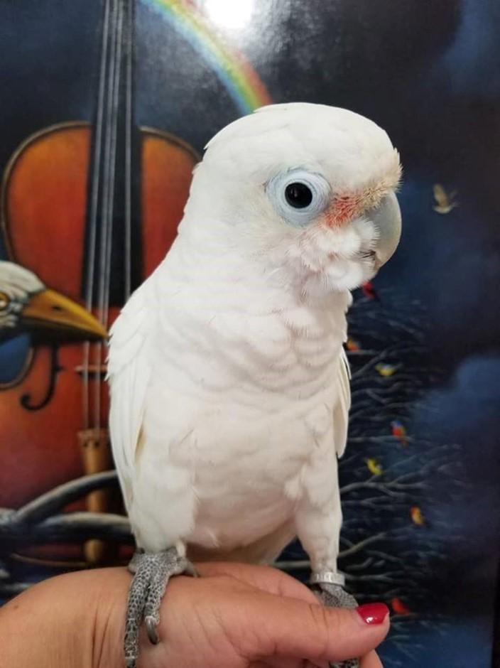 Goffin Cockatoo for sale