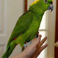 Double Yellow Head Amazon Parrots for Sale - Macaws and Parrots For sale
