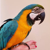 Blue and Gold Macaw for Sale - Macaws and Parrots For sale