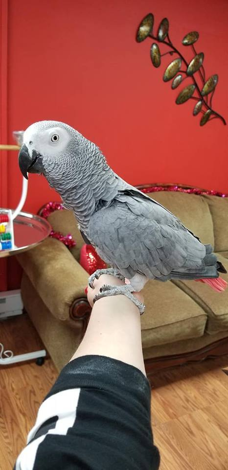 Timneh African Grey Parrot For Sale