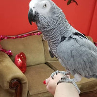 African Grey Congo Parrots for Sale - Macaws and Parrots For sale