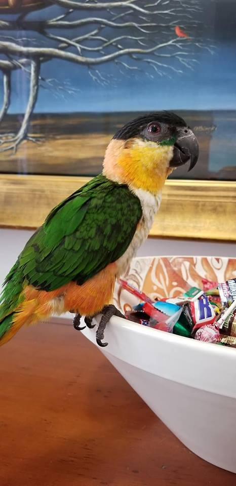 Black Headed Caiques for Sale - Macaws and Parrots For sale