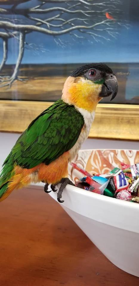 Black-headed Caiques for sale - Macaws and Parrots For sale