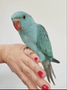 Blue Indian ringneck for Sale - Macaws and Parrots For sale