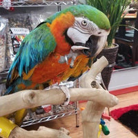 Beautiful Catalina macaw is available - Macaws and Parrots For sale
