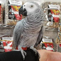 beautiful Congo African grey is currently available - Macaws and Parrots For sale