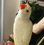 Creamino Indian Ringneck  For sale - Macaws and Parrots For sale