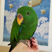 Eclectus parrot for sale - Macaws and Parrots For sale