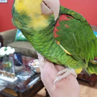 Double yellow head Amazon for sale - Macaws and Parrots For sale