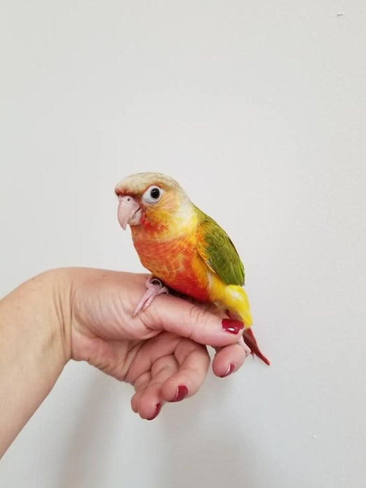 Green Cheek Conure for sale - Macaws and Parrots For sale