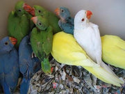 Indian Ringneck Parakeet for sale - Macaws and Parrots For sale