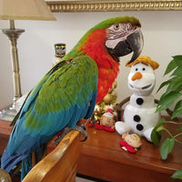 Harlequin Macaw for sale - Macaws and Parrots For sale