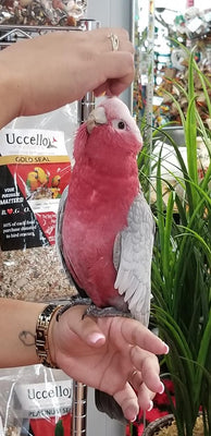 Rose-Breasted Galah Cockatoo