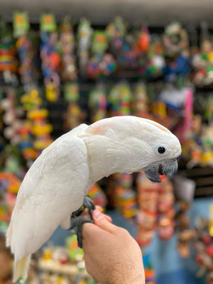 Mobrella Cockatoo