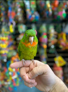 Red Throated Conure For sale