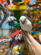 Albino  Quaker Parrots for Sale