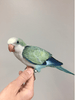 Quaker Parrot - Macaws and Parrots For sale