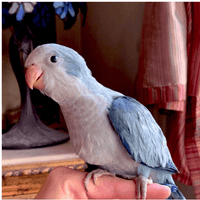 Quaker Parrots for Sale - Macaws and Parrots For sale