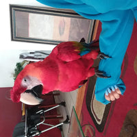 Scarlet macaw for sale - Macaws and Parrots For sale