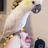 Sulphur Crested Cockatoo is available. - Macaws and Parrots For sale