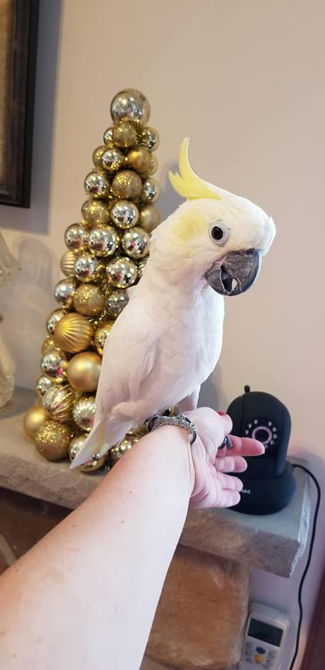 Sulpher Crested cockatoo is available. - Macaws and Parrots For sale